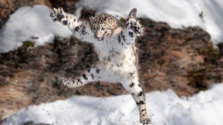 """雪豹一脚踩空""""跌落崖底"""",这下完犊子了!"""