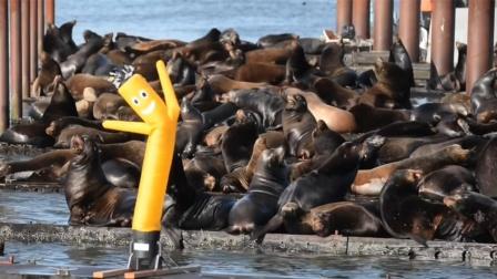 大量海狮霸占港口还抢鲑鱼,当地制作电动虎鲸驱赶却被浪打翻!