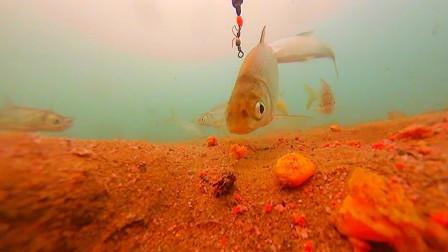 钓鱼人为什么说黄尾鱼难钓,水下高清实拍解密原来如此