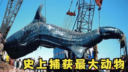 6个被捕获的最大的动物,重达7吨的鲨鱼被5台起重机打捞?