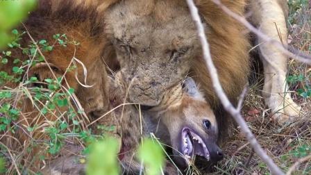 """雄狮疯狂复仇,直接咬死鬣狗""""示众""""!"""