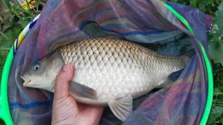 钓鲫鱼可以把3.5H的鱼竿拉到大弯弓,这是鲫鱼成精了吗?