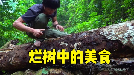 第1集 热带雨林荒野求生,腐烂的树木中寻找美食!