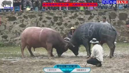 2018中国云南红河州屏边斗牛