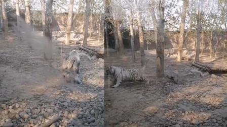 保定一家动物园出现奇葩一幕 两只大老虎被一只大鹅追着咬