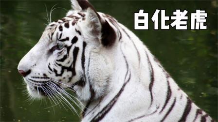 全球4种最罕见白化动物,白化老虎仅剩210只,印度国宝!