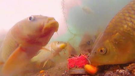 水底高清实拍翻板钩钓鲤鱼,一条接一条,,全是大物,看得受不了