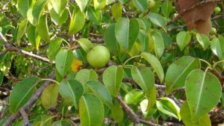 世界上最毒的果,站在它面前都很危险