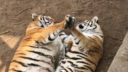 """两只胖虎躺地上""""合掌""""秀恩爱,网友:这体型一看就是生活幸福"""