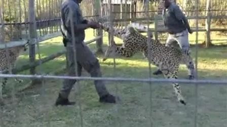 """猎豹咬住男子大腿,却反被""""狂抡""""好几圈!"""