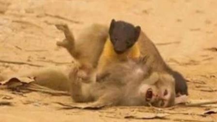 """猴子落入""""黄大仙""""圈套,眨眼血溅当场!"""