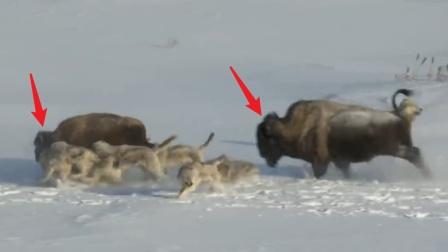 群狼困住小牦牛之际,一头大牦牛突然杀出,然而结局却意外了!