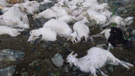 一只乌鸦独自杀死了200只羊羔,它是怎么做到的?真相令人愤怒