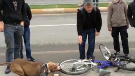 狗狗死咬住自行车车胎,就是不放!车主只得割开轮胎一探究竟!