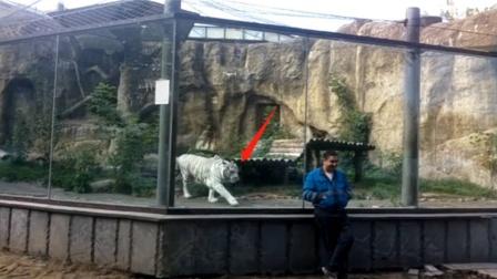 老虎隔着玻璃攻击男子,不料男子一回头,老虎的反应忍住别笑