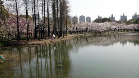 世纪公园的樱花岛、田园区美到没朋友
