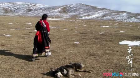 取了狗牙当狼牙卖,偷猎者对待狗手段极其残忍 重返狼群 10周年特别纪念版 20210516