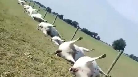 """雷暴天气过后,几十头牛""""倒了大霉""""!"""