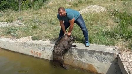 """老外救下落水野猪,准备放生时,野猪的表现太""""意外""""了!"""