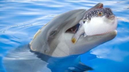 """海豚不断轻吻河豚,只为满足自己""""兽欲""""!"""