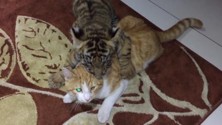 小脑斧第一次见到猫咪,扑上去又亲又咬,猫:徒儿调皮了
