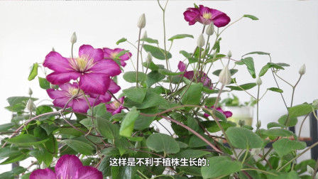 盆栽铁线莲爆花了,实用的3点经验分享给你,开花又大又饱满