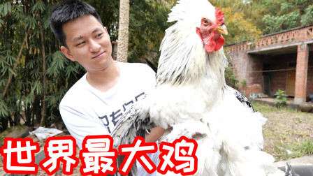 小伙试吃世界上最大的鸡!全村人都来帮着我杀鸡!