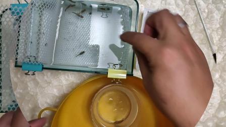 象牙白又生了多少条小鱼?余月手忙脚乱,一条鱼苗竟然跳缸了
