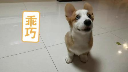 柯基生活:当找不见狗的时候,这么做试试~