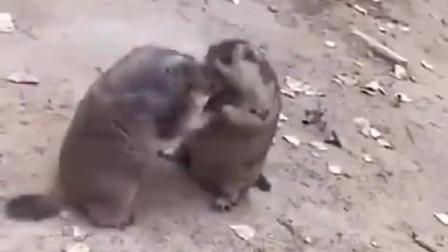 动物界的沙雕约架,笑尿了!