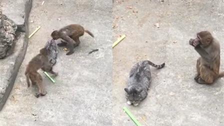 猫咪滞留动物园遭猴子追逐撕咬 游客:听说好几个月了没人管