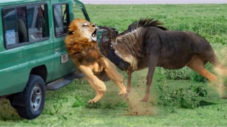 2头狮子围攻角马,角马突然大爆发,镜头拍下罕见画面!