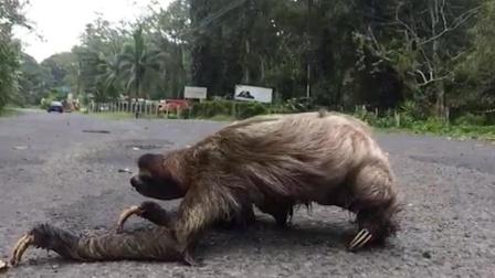 以每秒0.2米逃跑的树懒,为啥还没灭绝?