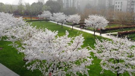 樱花、郁金香静安雕塑公园私藏圣地