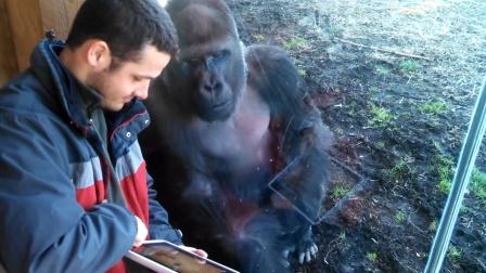 男子玩切水果给猩猩看,猩猩看得入迷,生怕被其它猩猩看到了!