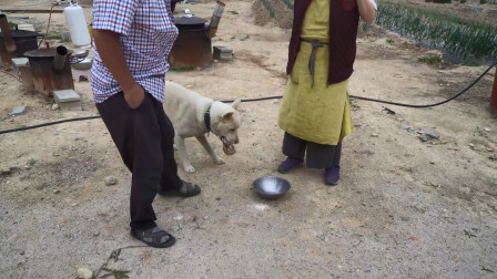 喂小狗吃美味的迷你猪蹄,又香又入味,狗狗被馋得上蹿下跳!