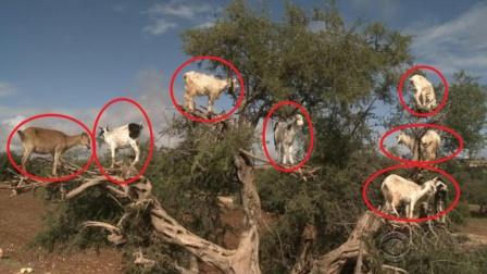 """树上""""长满""""了羊,一数竟有几十只,这是怎么回事?"""