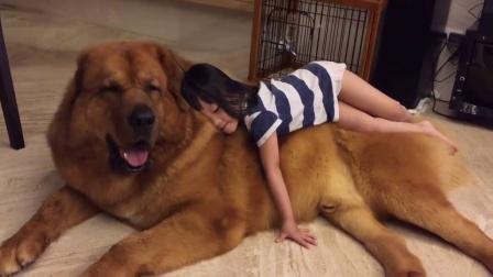 小女孩躺在藏獒上睡觉,当女孩不小心掉下后,狗狗的举动让人暖心