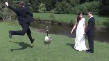大鹅破坏婚礼现场,男子一脚将其踢上天!