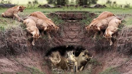 """疣猪被狮子追捕,以为进洞就安全了,不料遇见的却是""""拆迁大队"""""""