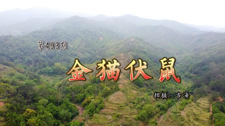 带你去看广东信宜陈氏的金猫伏鼠