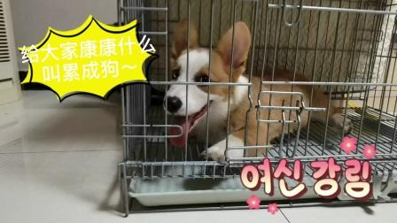 柯基生活:给大家看看什么叫累成狗~