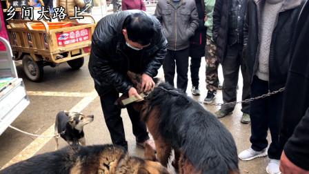 大哥花1250块买条狼狗做配狗用,爱狗一走三回头,不舍得离开主人