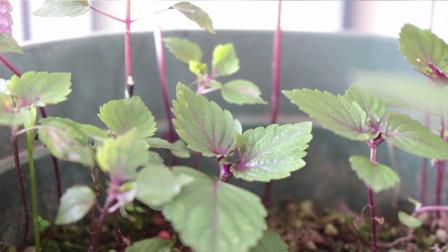 紫苏在家就能种,准备点种子就能成功,好看又好养,用处多多
