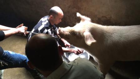 实拍农村杀年猪,牛不牛自个儿看,300多斤的猪跟杀鸡一样简单