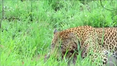 豹子狩猎疣猪真狠,死死锁住喉咙不松嘴,疣猪毫无挣扎余地!