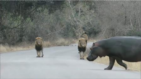 雄狮外出散步偶遇成年河马,下一秒雄狮的做法,看完憋住别笑!