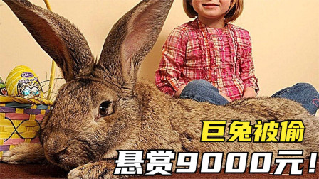 5个世界上最大的动物,1.3米的世界巨兔被偷?找到就给9000元!