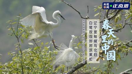 春天里的中国丨辽宁宽甸候鸟北归 白鹭双双对对筑巢忙