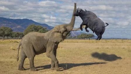 罕见!大象与野牛正面较量,象牙刺穿牛身